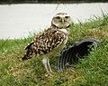Burrowing Owl (Athene cunicularia) (48429963506).jpg