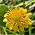 Bushy seaside oxeye (Borrichia frutescens) (7276182366).jpg