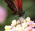 Butterfly 2s (5662997872).jpg