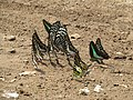 Butterfly mud-puddling at Kottiyoor Wildlife Sanctuary (26).jpg