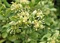 Buxus microphylla kz02.jpg