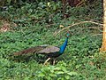 CURIOUS PEACOCK, JALDAPARA WILDLIFE SANCTUARY.jpg