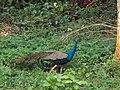 CURIOUS PEACOCK, JALDAPARA WILDLIFE SANCTUARY.jpg