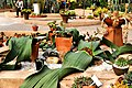 Cactaceae in Suan Luang Rama 9 Photographed by Trisorn Triboon (67).jpg