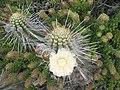 Cactus en flor, isla Damas.jpg