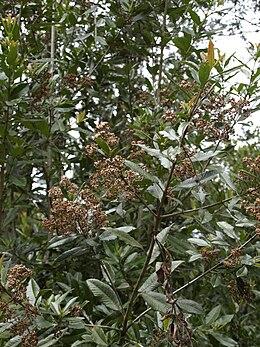 Caldcluvia paniculata1