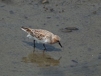 Red-necked stint - Image: Calidris ruficollis P4233842