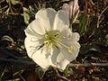 California Evening Primrose 01 (6921539946).jpg