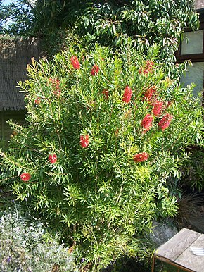 Description de l'image Callistemon citrinus Red Clusters.jpg.