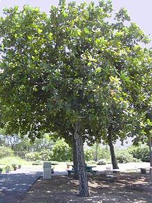 Tamanu Oil Wikipedia