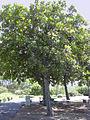 Calophyllum-inophyllum01.jpg