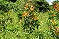 Calophyllum brasiliense Mococa Brasil 004.jpg