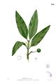 Calophyllum soulattri Blanco2.241.png
