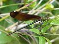 Calopteryx haemorrhoidalis. Copper Demoiselle. Female - Flickr - gailhampshire.jpg