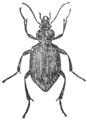 Calosoma sycophanta illustration.png