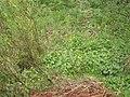 Caltha palustris 126679534.jpg