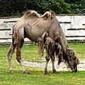 Camel at Blackpool Zoo (geograph 4023772).jpg
