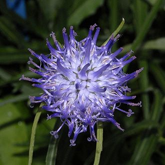 Phyteuma scheuchzeri - Inflorescence of Phyteuma scheuchzeri