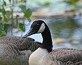 Canada Goose (Branta canadiensis) (34880926914).jpg
