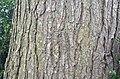 Canadian Hemlock Tsuga canadensis Bark Horizontal.jpg