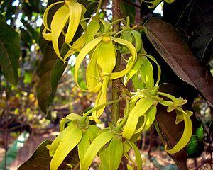 Cananga odorata - Flowers of Cananga odorata