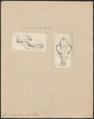 Canis dingo - 1700-1880 - Print - Iconographia Zoologica - Special Collections University of Amsterdam - UBA01 IZ22200405.tif