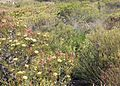 Cape Flats Sand Fynbos - typical conebush-restio sample Cape Town.jpg