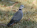 Cape Turtle Dove RWD3.jpg