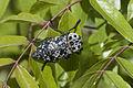 Capnodis cariosa - Pistachio Rootborer - Antep Fıstığı Kök Kurdu 01.jpg