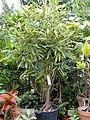 Capparis cynophallophora - Copenhagen Botanical Garden - DSC07400.JPG