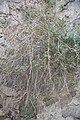 Capparis spinosa-2078.jpg