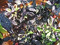 Capsicum annum Black Pearl 0zz.jpg