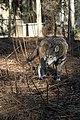 Captive Male at Sandy Ridge, ARNWR (6261011940).jpg
