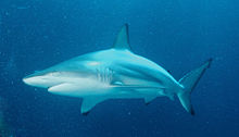 Blacktip Shark 3 by Inked Animal