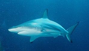 Kleiner Schwarzspitzenhai (Carcharhinus limbatus)
