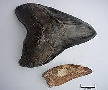 Une dent du M. megalodon à côté de celle d'un des plus grands prédateurs terrestres, le Carcharodontosaurus