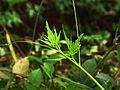 Cardiospermum halicacabum.jpg