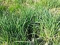 Carex acutiformis sl4.jpg
