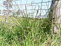 Carex appressa plant2 NC - Flickr - Macleay Grass Man.jpg