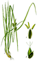Carex flava, Thomé 94.png