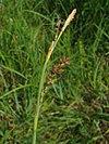 Carex panicea.jpeg