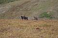 Caribou at Cottonwood Creek (9513920516).jpg