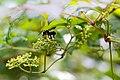 Carpenter-mimic leafcutter bee (43282700541).jpg