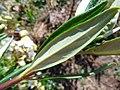 Carpenteria californica 2.jpg