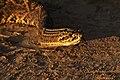 Cascabel Crotalus Durissus (27692823).jpeg