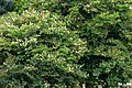 Casco de buey (Bauhinia variegata) (14803114258).jpg