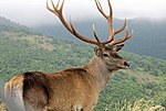 Caspian Red Deer (Maral) in Arasbaran forest.jpg