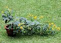 Cassia floribunda (Strauch).jpg