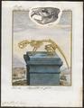 Castor fiber - skelet en schedel - 1700-1880 - Print - Iconographia Zoologica - Special Collections University of Amsterdam - UBA01 IZ20400219.tif