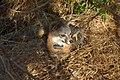 Catalina Island Fox (Urocyon littoralis catalinae) looking at something.jpg